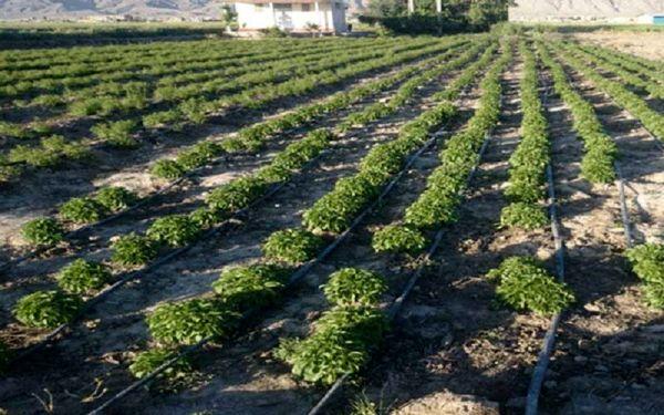 کشت گیاهان دارویی در سطح 250 هکتار از اراضی کشاورزی آذربایجان غربی