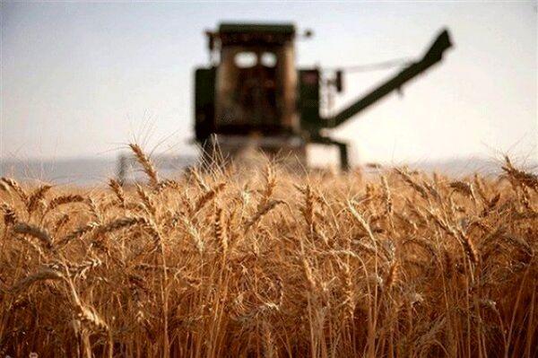 افزایش عملکرد و تولید گندم در گرو مدیریت عوامل زیانرسان مزرعه