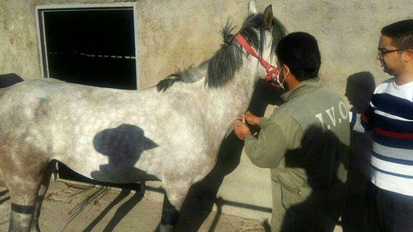 جهت ردیابی بیماری مشمشه در شهرستان شهربابک، 60 راس اسب مورد آزمایش قرار گرفتند.