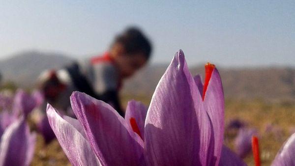 تولید بیش از ۱۴۰۰ کیلوگرم زعفران خشک در آذربایجان شرقی