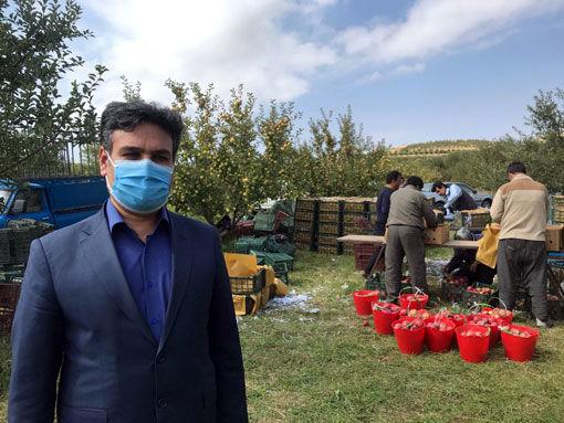 آغاز برداشت سیب از باغات شهرستان مراغه