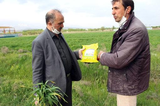 مشاهده آفت زنگ زرد - لکه قهوه ای  و لکه نواری در مزارع گندم و جو در شهرستان مرند