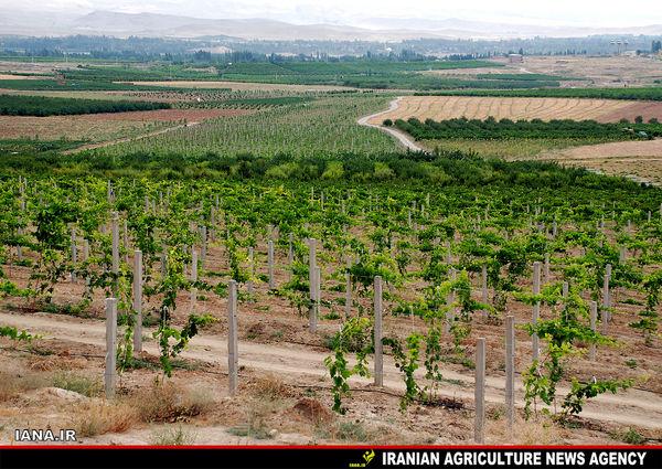 باغات انگور ارومیه