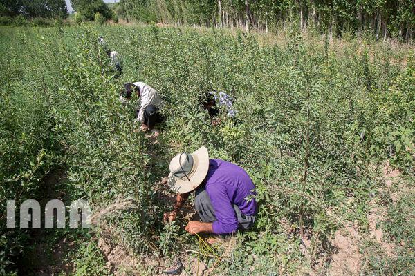 بازنشستگی برای کشاورزان دیگر آرزو نیست