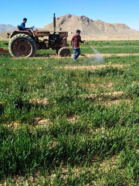 مبارزه با سن گندم در سطح 3600 هکتار از مزارع گندم خاتم