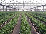 صادرات ۱۰۰ هزار تُن محصولات گلخانهای اصفهان به خارج کشور