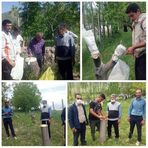 تعویض تاج درختان گردو در سطح ۱۰ هکتار در شهرستان  ورزقان