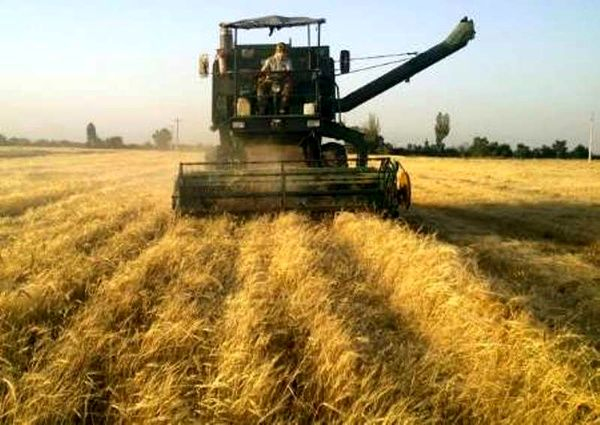 پیش بینی تولید ۱۳.۵ میلیون تن گندم در سال زراعی جاری