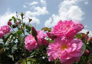 برداشت گل از اولین مزارع نوین گل محمدی در اسفراین