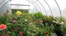 ۵۰ درصد گلخانههای گل شاخه بریده کشور در استان تهران قرار دارد