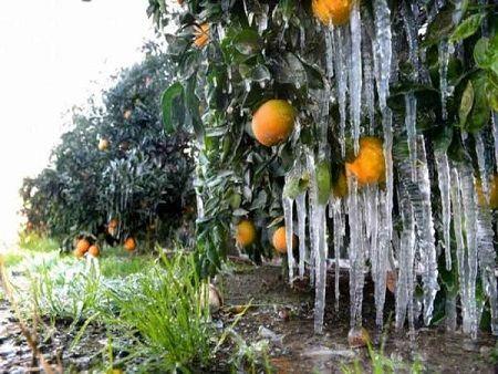 سرما در کمین باغهای قیروکارزین