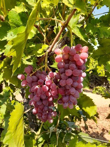 برداشت انگور از 25 هزار هکتار از باغات شهرستان تاکستان آغاز شد