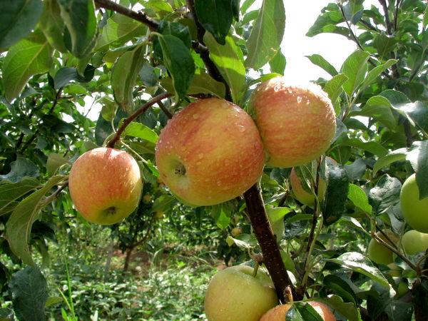 کیل گیری از مزارع و باغات استان قزوین آغاز شد