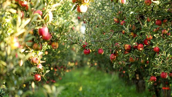 پیشبینی برداشت 210 هزار تن سیب از باغات خراسان رضوی