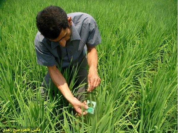آغاز کنترل بیولوژیک نسل دوم آفت ساقه خوار برنج در شهرستان لاهیجان
