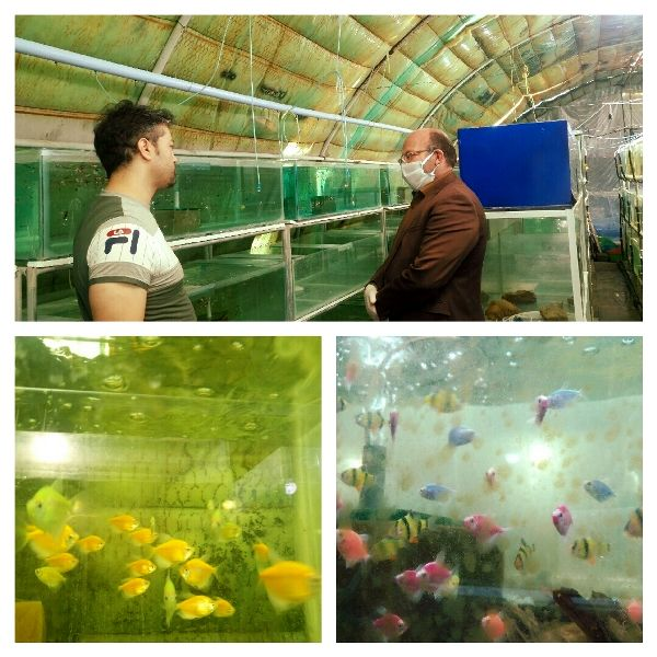 تولید سالانه 220هزار قطعه ماهی زینتی در یکی از واحدهای تولیدی شهرستان پردیس