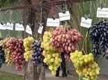 معرفی ارقام جدید انگور در ایستگاه تحقیقات انگور تاکستان