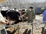 اجرای طرح واکسیناسیون تب برفکی دام سنگین در استان کرمان