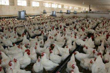 اجرای طرح تولید مرغ سایز در آذربایجان شرقی
