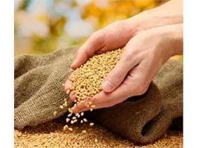 تخصیص 93 تن بذر برنج به قائم شهر/ توزیع 18 تن