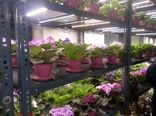 بزرگترین گلخانه بنفشه آفریقایی در آمل افتتاح شد
