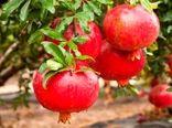 افزایش ۲۰ درصدی تولید انار در فیروزکوه