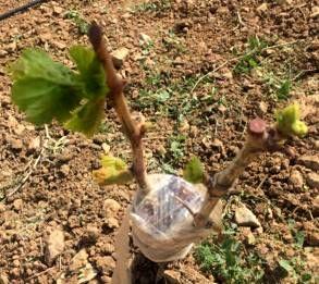 طرح سرشاخه کاری درختان انگور با ارقام جدید در تاکستان اجرا شد