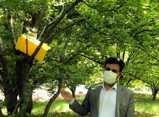 نصب تلههای فرمونی در ایستگاههای پیشآگاهی در باغات شهرستان مراغه