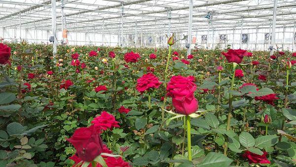تولید  سالانه 700 هزار شاخه انواع گل رز هلندی در یک گلخانه هیدروپونیک استان اردبیل