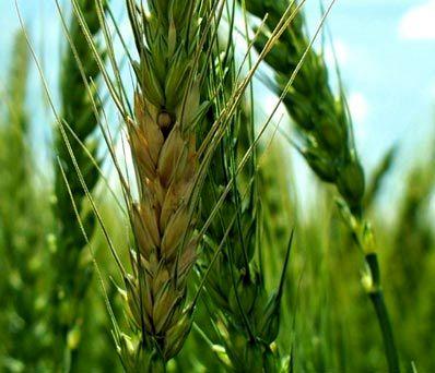 مبارزه با بیماریهای برگی در مزارع غلات استان خراسان شمالی
