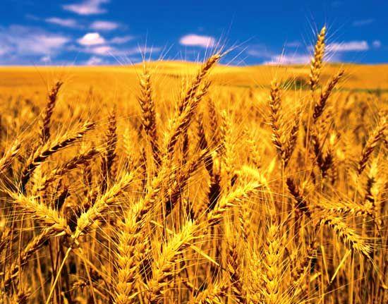 چین، بزرگترین تولیدکننده گندم در دنیا