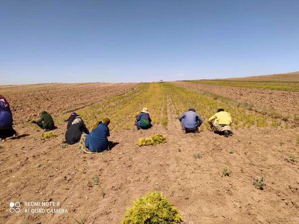 آغاز برداشت عدس دیم از مزارع کشاورزی قزوین