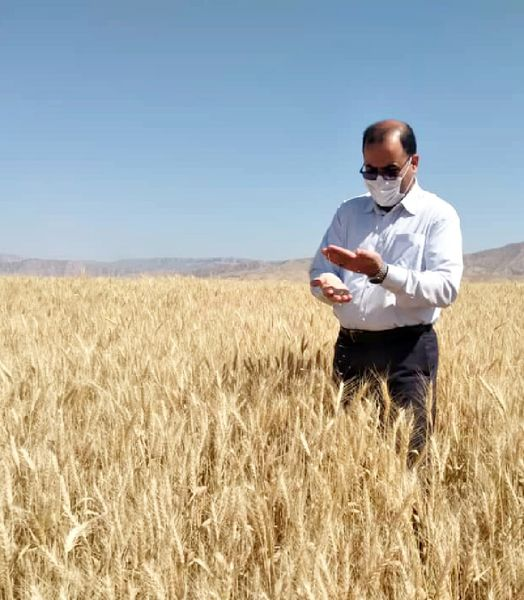 ریزش حداقی در برداشت با کمباین در مزارع گندم