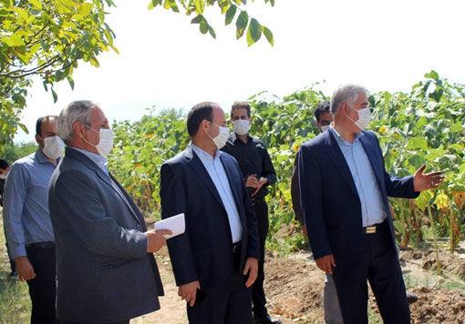 برداشت 9900 تن  محصول آفتابگردان آجیلی از 4500 هکتار اراضی شهرستان ویژه مرند