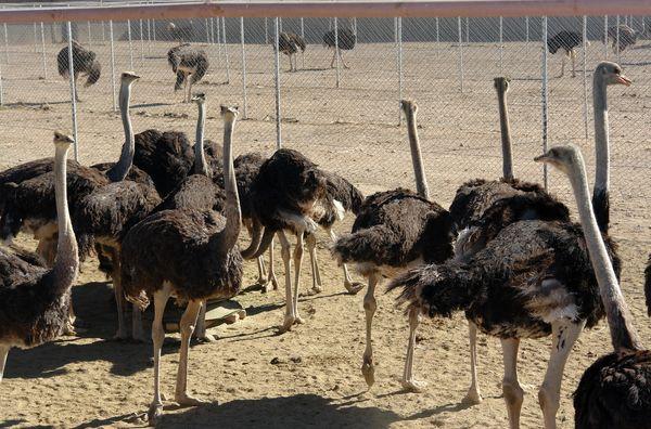 پرورش شتر مرغ فرصت اقتصادی پر سود برای خراسان جنوبی