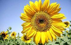 آغاز برداشت آفتابگردان از مزارع اردستان