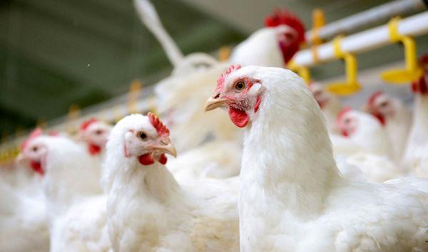 کنترل آنفلوآنزای مرغی از دست دامپزشکی خارج بود