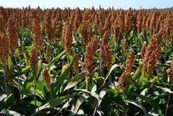 تولید بیش از 500 تن بذر سورگوم