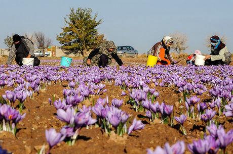 افزایش سطح زیرکشت زعفران در خراسان جنوبی
