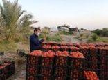 محدودیتی برای صادرات گوجه فرنگی بوشهر وجود ندارد
