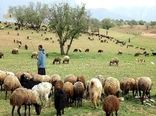 ۷۰ هزار راس دام عشایر آذربایجان غربی به صورت تضمینی خریداری میشود
