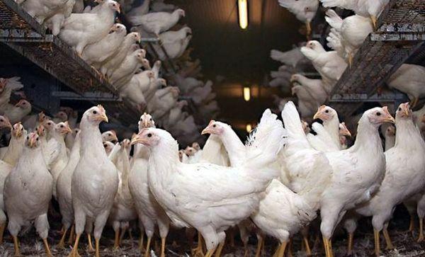 جریمه 60 میلیارد ریالی دو واحد مرغداری متخلف در جویبار