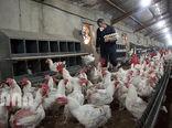 نگهداری مرغ بیش از 45 روز صرفه اقتصادی ندارد