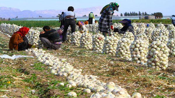 اصفهان، قطب تولید پیاز در کشور