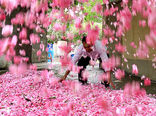استان فارس قطب تولید گل محمدی کشور