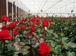 زیان ۲۵ میلیارد ریالی کرونا به تولیدکنندگان گل رز در یزد