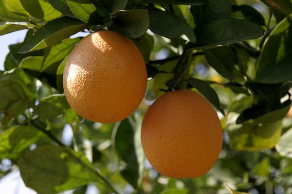 پیشبینی تولید 132 هزار تن محصول پرتقال در هرمزگان