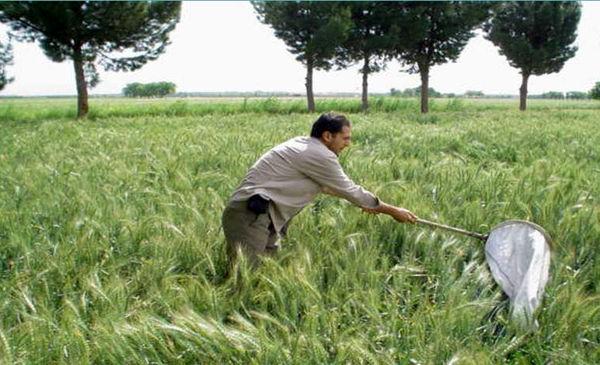 آغاز مبارزه با سن مادر در مزارع کشاورزی شهرستان قزوین