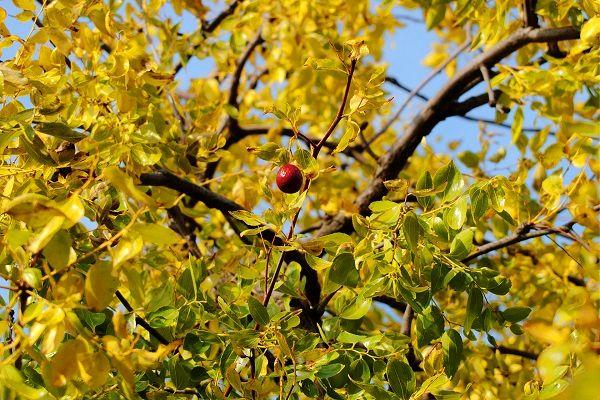 سالانه بیش از 1000 تن عسل کنار در استان بوشهر تولید می شود