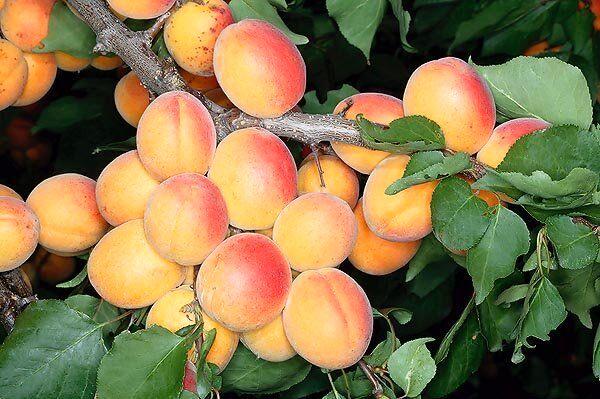 پیشبینی برداشت بالغ بر400 تن میوه هسته دار از باغات خوسف